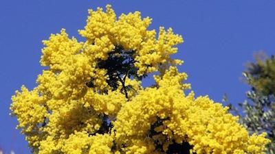 mimosa_1.jpg